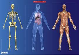 Human Anatomy Posters Human Anatomy Posters Free Anatomy