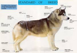 dog breed size chart siberian husky characteristics and size dvshr