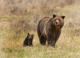 orphaned cubs of euthanized yellowstone grizzly sow to go to orphaned cubs of euthanized yellowstone grizzly sow to go to toledo zoo