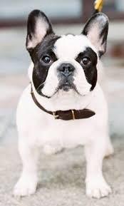 black and white french bulldog. Fine French Black And White Pied French Bulldog With And Bulldog N