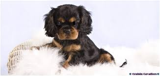 cavalier king charles spaniel black and tan puppy.  Cavalier Black U0026 Tan Cavalier King Charles Spaniel Puppy Intended And Cruisin Cavaliers
