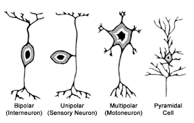 Some Neuron Types Second Level Generality Download Scientific Diagram