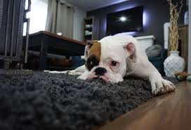 pet diaries how to keep your rugs