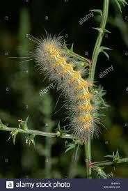 Light Yellow Fuzzy Caterpillar A Fuzzy Caterpillar Stock Photos A Fuzzy Caterpillar Stock