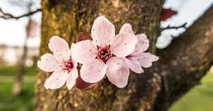 Bunga Sakura Jadwal Mekar Bunga Sakura Jepang Musim Semi 2019 Tiket Com