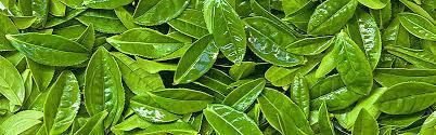 fresh tea leaves. Wonderful Fresh Fresh Tea Leaves Background And Tea Leaves I