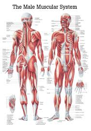 World S Best Anatomical Charts The Male Muscular System Anatomical Chart