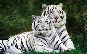 white tiger wallpaper hd 1080p. Simple White HD Wallpaper  Background Image ID277017 1920x1200 Animal White Tiger And Hd 1080p A