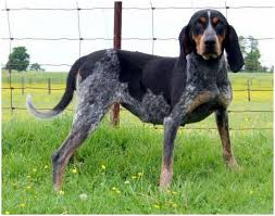 Bluetick Coonhound Size Chart Bluetick Coonhound Puppies Facts Diet Pictures
