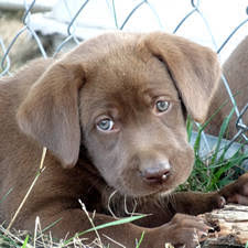 american chocolate lab puppies. In American Chocolate Lab Puppies