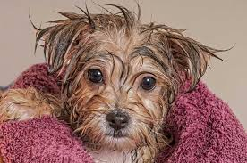 a dog in a towel after taking a bath