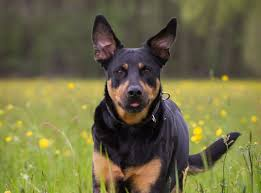 Rottweiler Size And Weight Chart Rottweiler Lab Mix The Complete Labrottie Dog Breed Guide