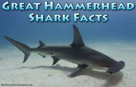 hammerhead shark facts for kids.  Hammerhead Great Hammerhead Shark Facts Pictures U0026 Video Discover An Incredible  Endangered On Facts For Kids E