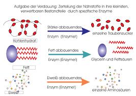 Enzyme und verdauung
