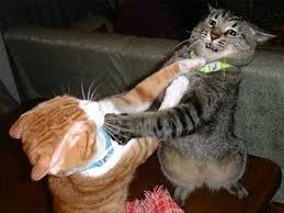Image result for cat fight