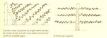 How To Grow Cordon Apple And Pear Trees  Garden Furniture LandGrowing Cordon Fruit Trees
