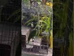 parrot sings sia s chandelier