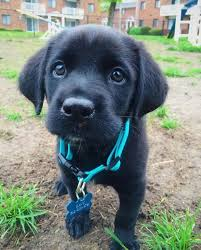 husky black lab mix puppy. Wonderful Mix The Little Adventure Dog Black LabSiberian Husky Mix  Camping With Kavu  Pinterest Dogs And Puppies To Lab Puppy A