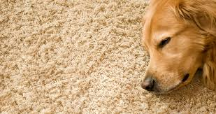 carpet and rug cleaning in kona and kohala hawaii dog on carpet