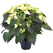 Weihnachtsstern Weiß Topf ø Ca 17 Cm Euphorbia Pulcherrima