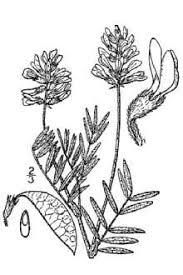 Plants Profile for Astragalus australis (Indian milkvetch)