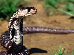 baby cobra snakes