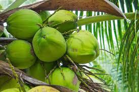 goa coconut and cashew festival full stop