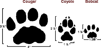 Dnr Distinguishing Cougar Coyote And Bobcat Tracks