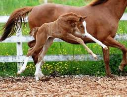 baby horses playing. Modren Baby Horse Baby Jumping For Joy On Baby Horses Playing B