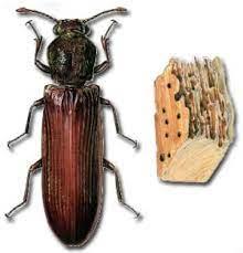 Champignon des maisons serpula lacrymans. Les Insectes Xylophages De Belgique Pest Solution Services