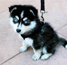 cute husky puppies with blue eyes. Unique Blue Adorable Amazing Animal Aw Babies Baby Beach Beautiful   Dream  Dogs Pinterest Baby Baby And Puppy Husky On Cute Husky Puppies With Blue Eyes L