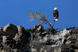 Bald Eagle Age Chart Lake Mead Bald Eagle Count Soars To Highest Number In 5
