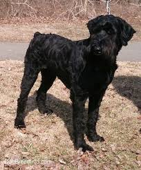 Giant Schnauzer Size Chart Giant Schnauzer Dog Breed Information And Pictures