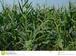 Spiny Pigweed Spiny Amaranth Or Spiny Pigweed Broadleaves Weed Stock Photo