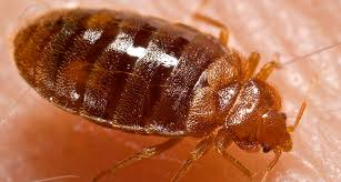 Bedbugs survive cold but not for too long
