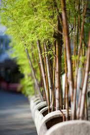 Small Picture Best 25 Bamboo plants ideas on Pinterest Bamboo garden Growing