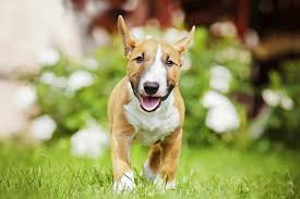 miniature bull terrier.  Miniature Find A Puppy Miniature Bull Terrier Inside R