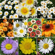 daisy crazy daisy flower seed mix quick view