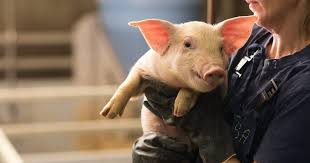 10 Surprising Facts About <b>Pigs</b> | The <b>Pig</b> Site