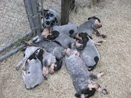 right in the middle of central florida we raise well bred bluetick hounds as well as bloodhounds puppies for your family