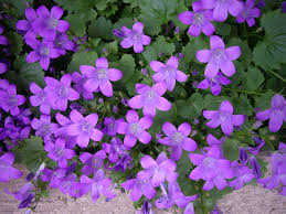 there is hardly a group of flowers which possess such rare beauty as does the large genus of canulas the genus includes nearly 300 species