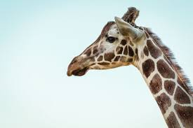 pictures of a giraffe.  Pictures Photo Of A Giraffe Throughout Pictures Of A Giraffe R