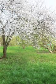 outdoor backgrounds. Outdoor Spring Scenic Photography Backdrops Digital Printed Pear Tree Flowers Studio Photo Shoot Backgrounds Green Grass Floor-in Background From Consumer J