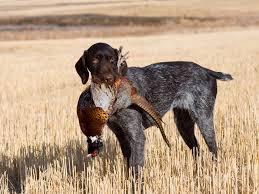 Best Dog Vest For Upland Hunting Barkspace