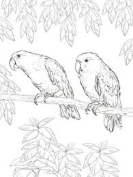 to see printable version of eclectus parrot coloring page