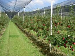 hail netting protects apples trees
