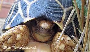 Indian Star Tortoise Diet Chart Caresheet In Brief Indian Burmese Star Tortoises