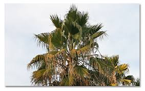fan palm. california fan palm. washingtonia filifera palm