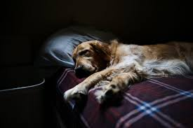 Canine Lymphoma Symptoms How To Diagnose And Treat Lymphoma In Dogs