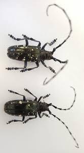 Landscape Asian Longhorned Beetle Umass Center For Agriculture